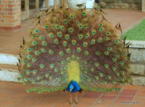 Peacock   via-Birds4All - Google+