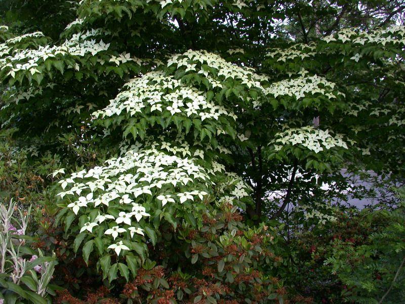 Cornus kousa 39 chinensis 39 v g taux jardin pinterest for Plante et arbuste exterieur