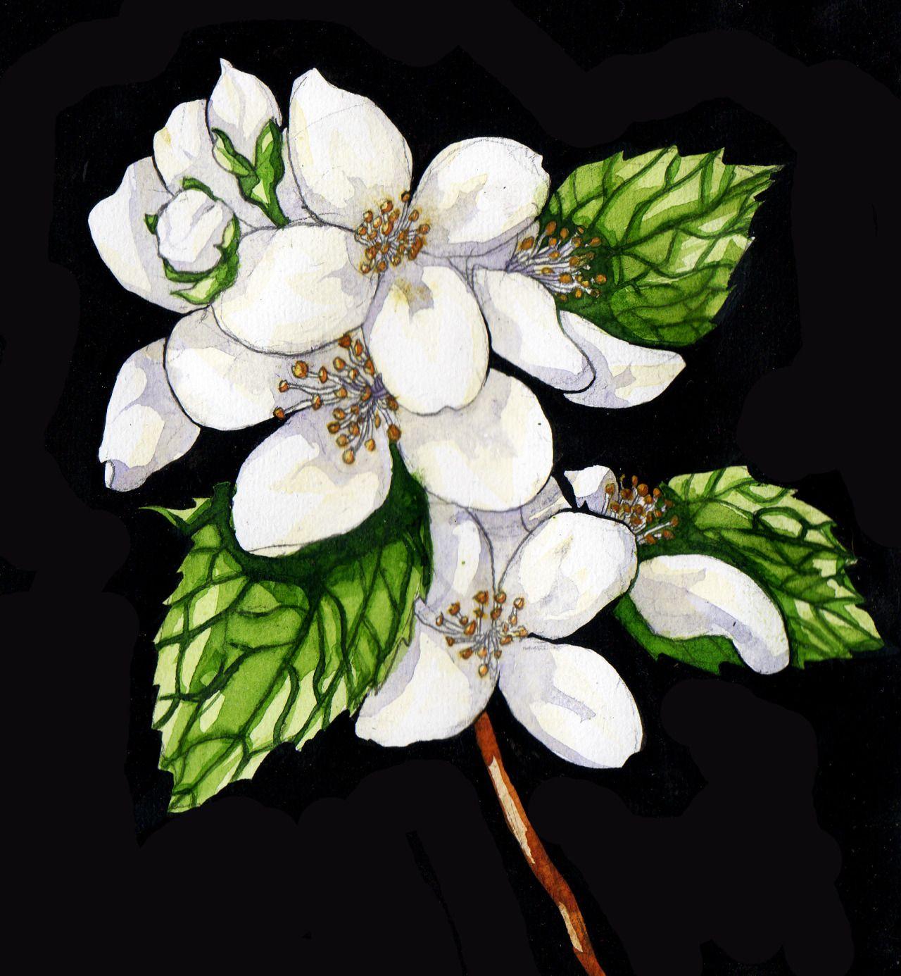 Jasmine jasminum amiability sweetnessjas in the arab language jasmine jasminum amiability sweetnessjas in the arab language is despair izmirmasajfo
