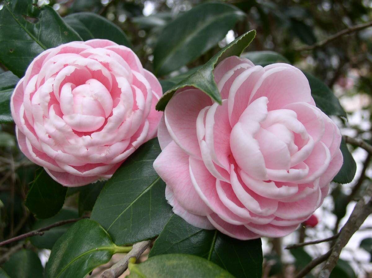 Camellia Japonica Otome Showy Flowers Beautiful Flowers Rock Garden Plants