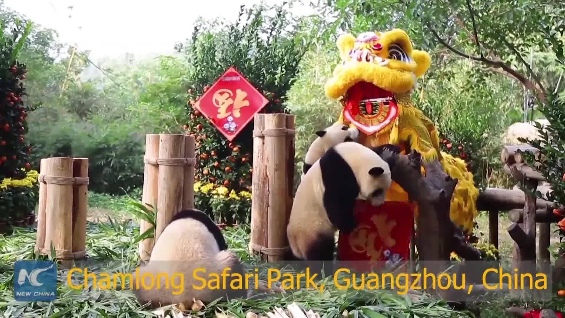 Cute giant pandas from around the world extend chinese new year giant pandas from around the world extend chinese new year greetings in different ways kristyandbryce Gallery