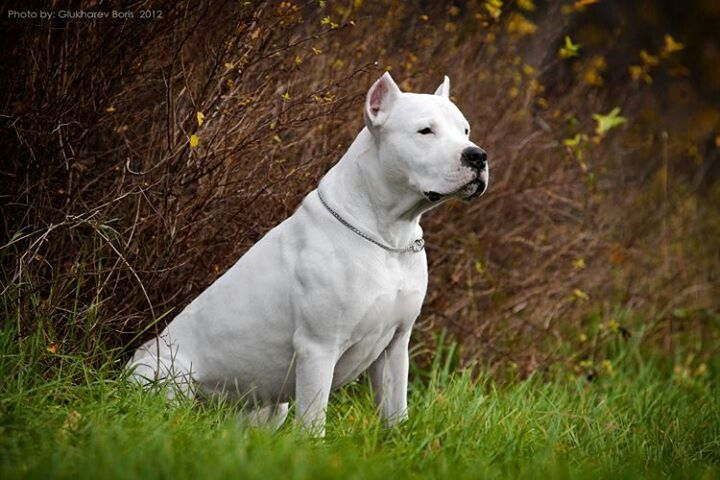Dogo Argentino Dog Argentino Dogs Guard Dogs