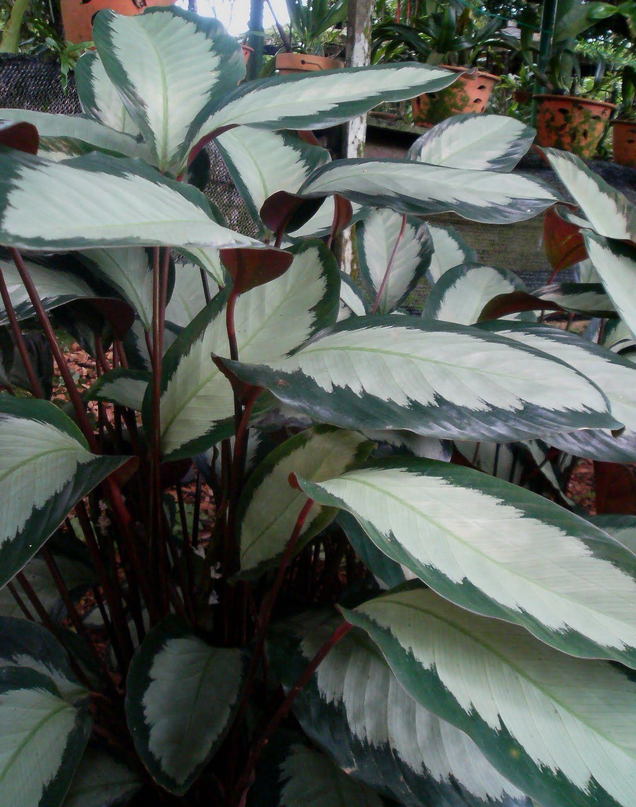 Calathea picturata 39 argentea 39 jardines plantas for Vivero plantas exoticas