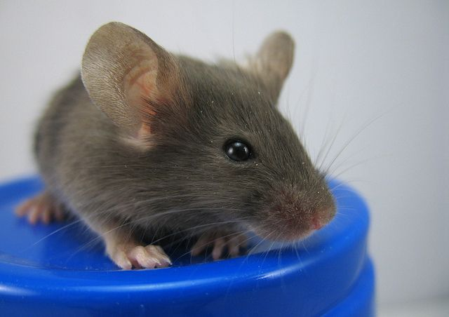 The Mice Come Out and Play - A baby mouse, with its tiny feet and pink nose, is quite adorable. But where there is one baby mouse in your house, there are usually brothers and sisters too. Don't let them make your house their playground.
