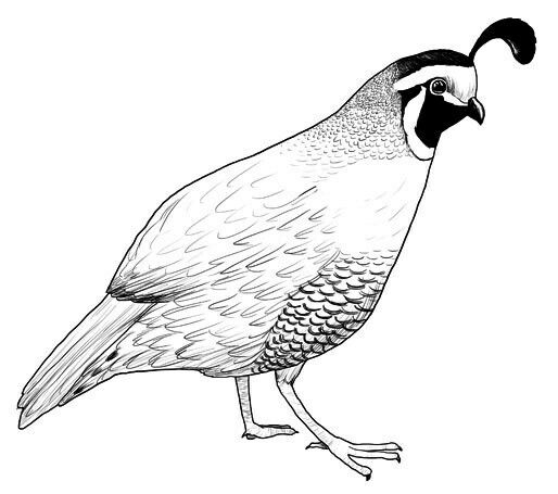 Line Drawing Quail : Pin by susan carrell on bobwhite and quails sketches