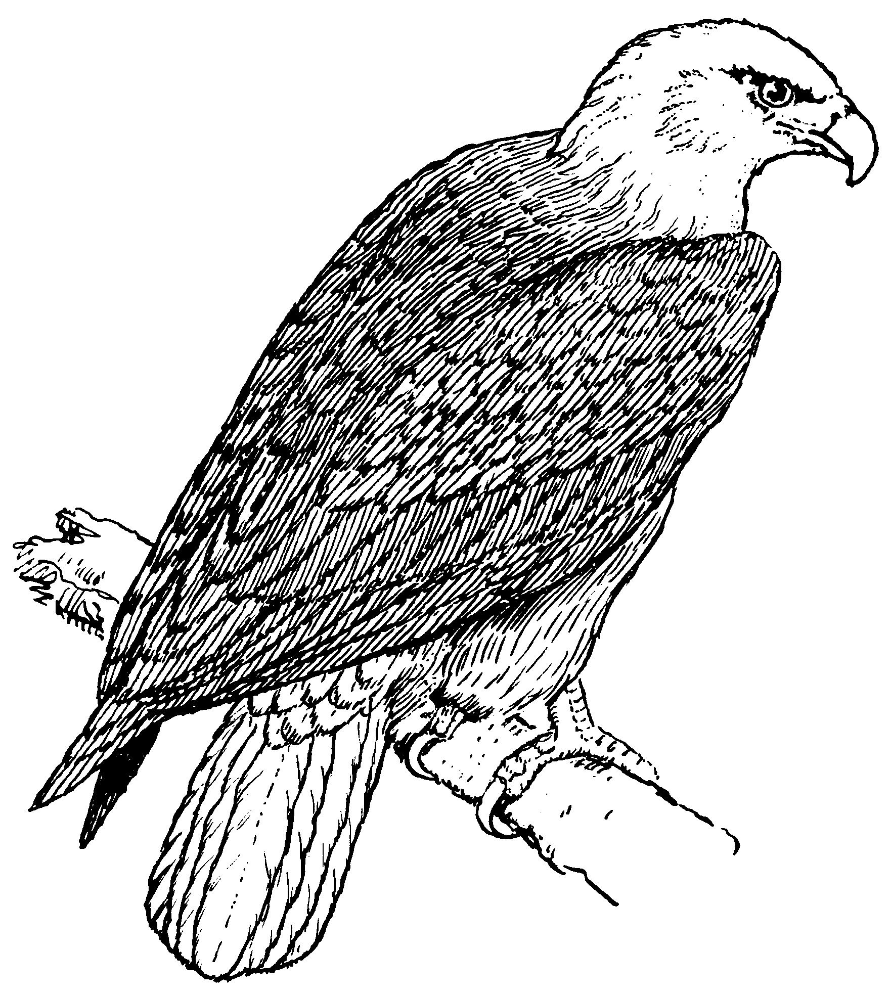 Coloring Picture Of Eagle In