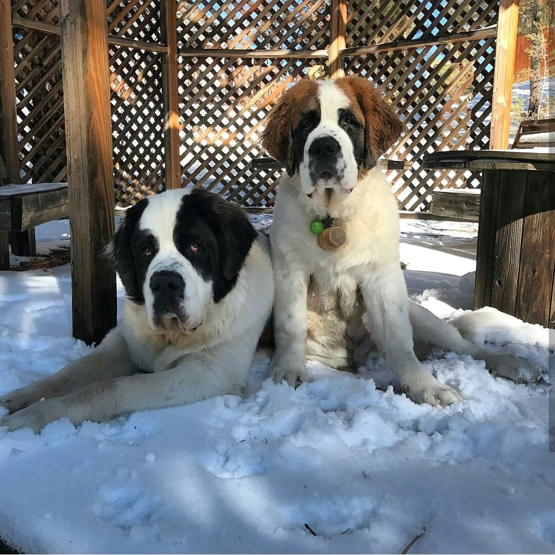 Newfies And Nards Image By Brenda Uick St Bernard Dogs Pretty