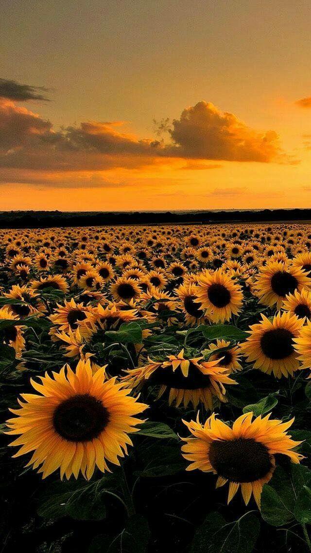 Campo De Girasoles Sunflowers Nel 2019 Girasoli Sfondi Per