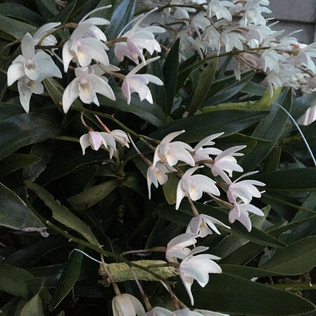 Dendrobium Speciosum X Kingianum Cultivar Which One A Great Australian Orchid For Garden Culture In The Bay Area And Be Dendrobium Speciosum Orchids Garden