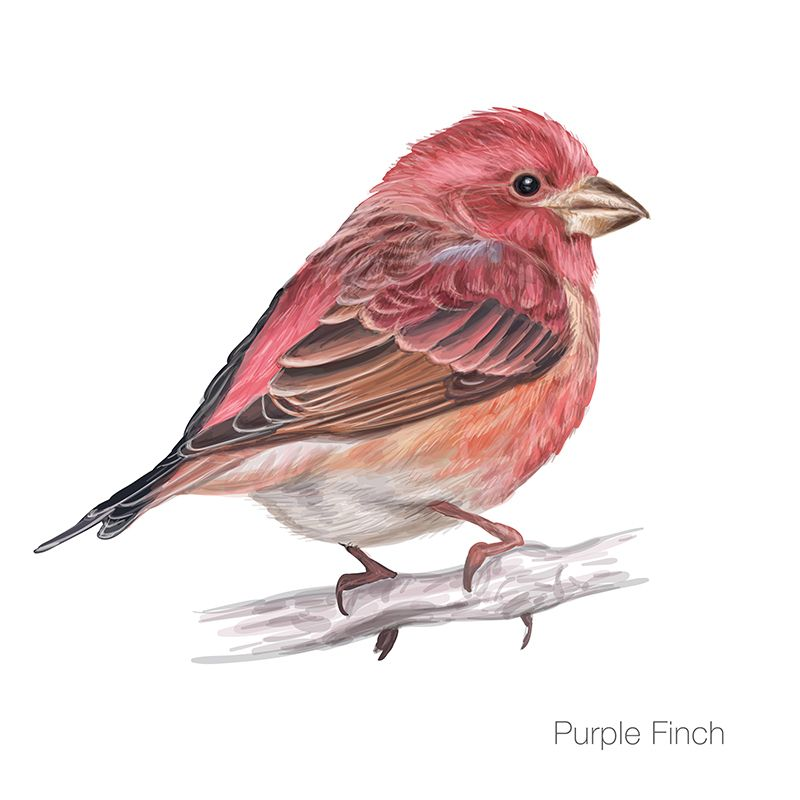 Purple Finch Vector Illustration Illustration Tutorial Botanical