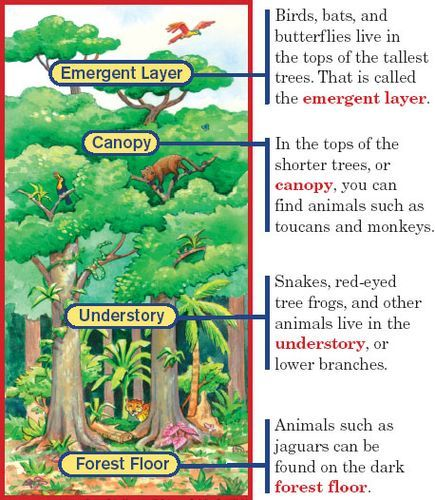 Layers of the rainforest diagram Ideas for the House Rainforest