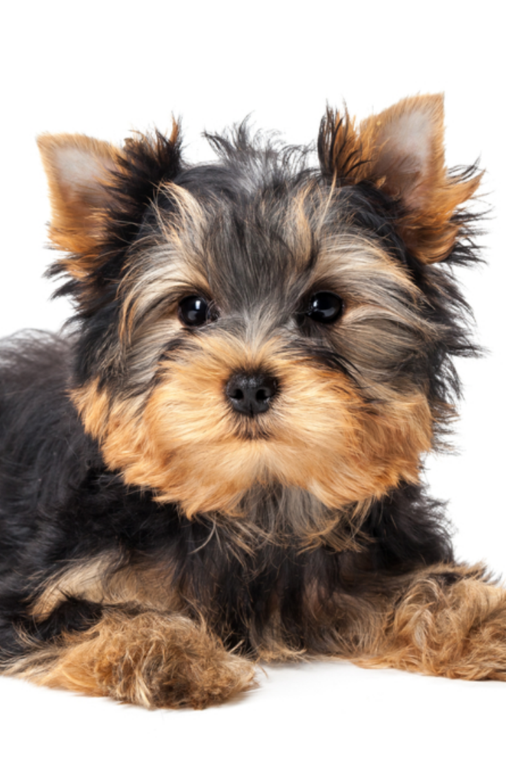 Yorkshire Terrier Puppy Isolated On White Background Yorkshireterrier Yorkshire Terrier Puppies Yorkshire Terrier Yorkie
