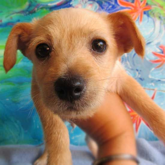 Rick Is A Mini Poodle Terrier Blend Sweetheart Ready To Find A Family That Will Love And Care For Him Forever Is That You Puppy Adoption Dog Adoption Adoption