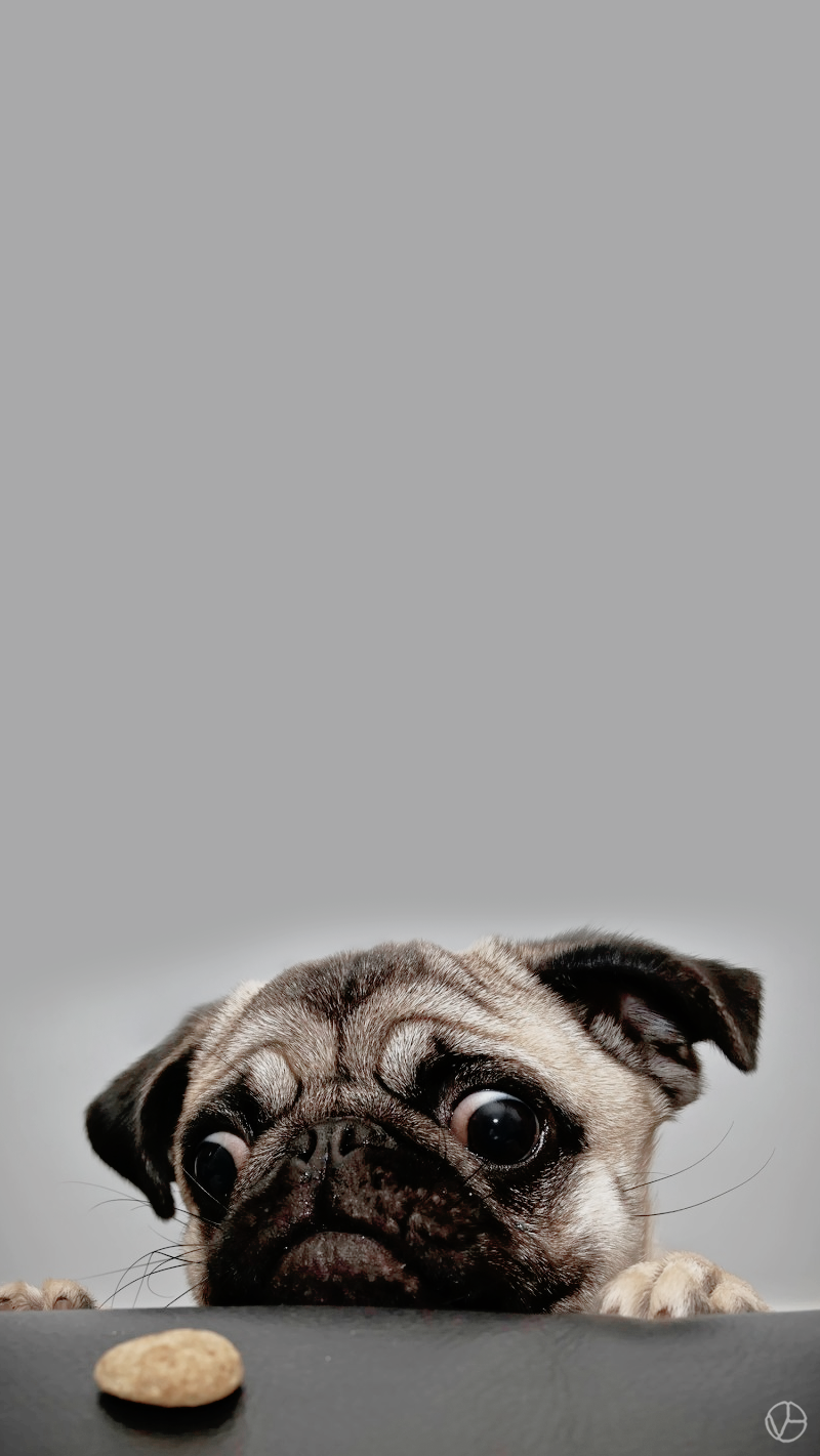 pugs wallpaper  Tumblr  Dogs  Pugs, Pug wallpaper y Dogs