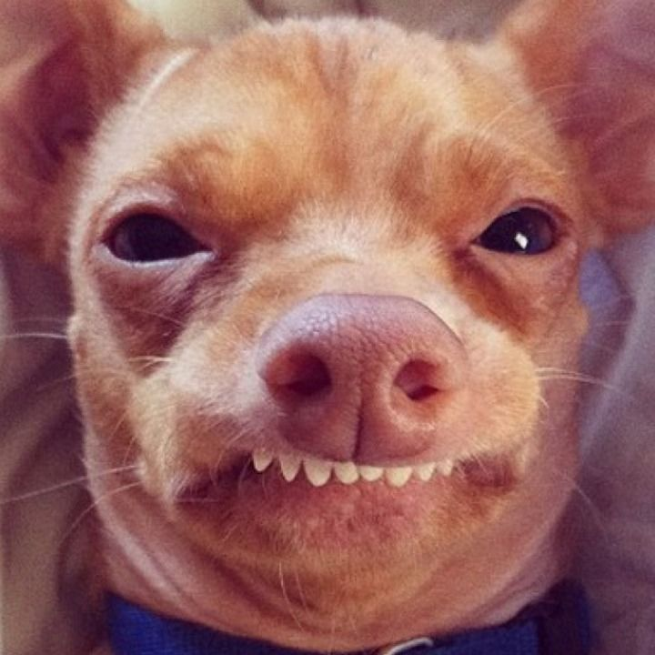 Meet tuna the chiweenie instagrams cutest dog with an
