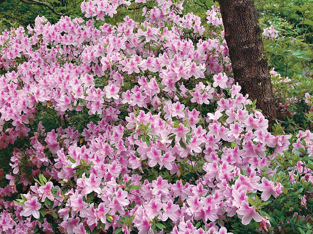Azaleas Made Simple Azaleas Landscaping Azaleas Care Azaleas