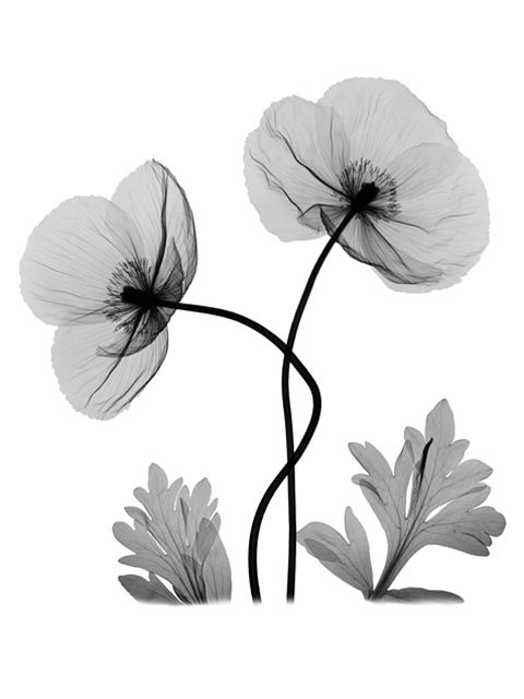 Pin By Danni Day On I Like Your Work Xray Flower Poppies