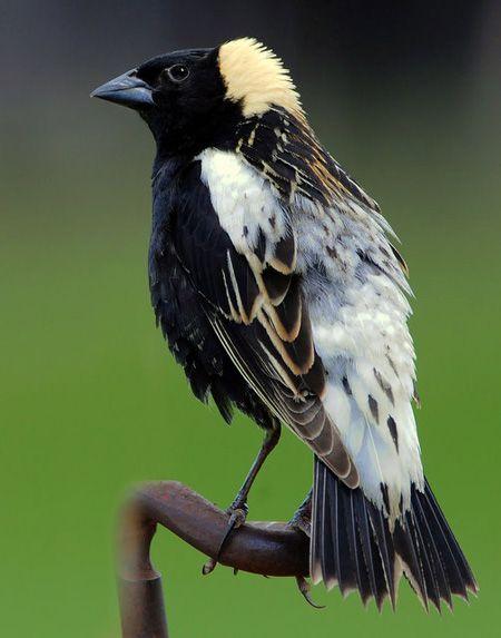 Bobolink Dolichonyx Oryzivorus Beautiful Birds Animals Weird Animals
