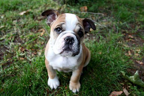 Take Care Of An English Bulldog Puppy Bulldog Puppies English