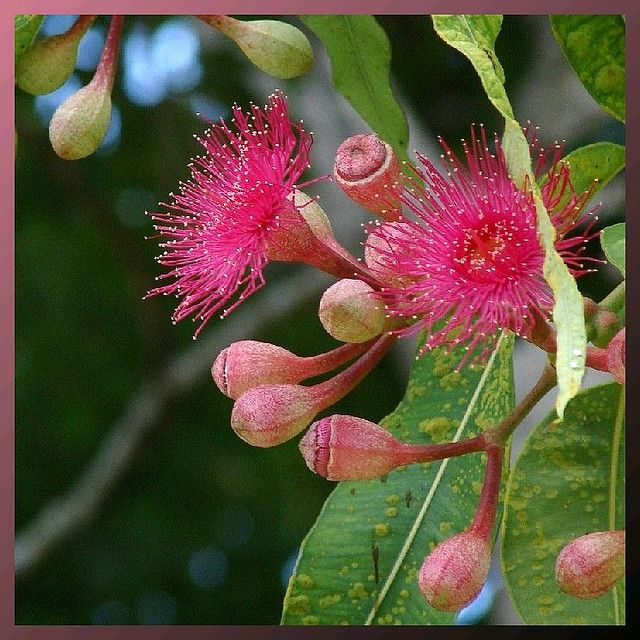 Pink flowering gum pinterest australia flowers and plants pink flowering gum eucalyptus sp in australia mightylinksfo