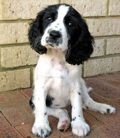 Beagle Springer Spaniel Mix Photo Happy Dog Heaven Spaniel Puppies Dogs English Springer Spaniel