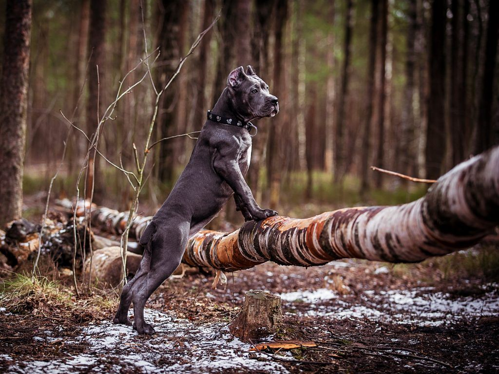 25 best cane corso facts images on pinterest cane corso dogs and italian cane corso cane corso italian mastiff cane corso mastiff dog photography cane corsa blue cane corso cane corso kennel cane corso puppies geenschuldenfo Images