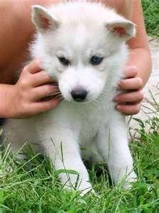 White Malamute Husky Mix Siberian Husky Puppies Husky