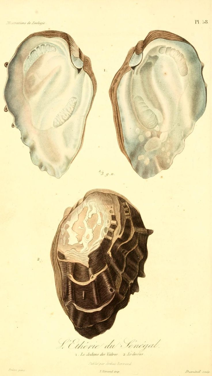 Image result for zoologie natural history oyster   Wall Decor ...