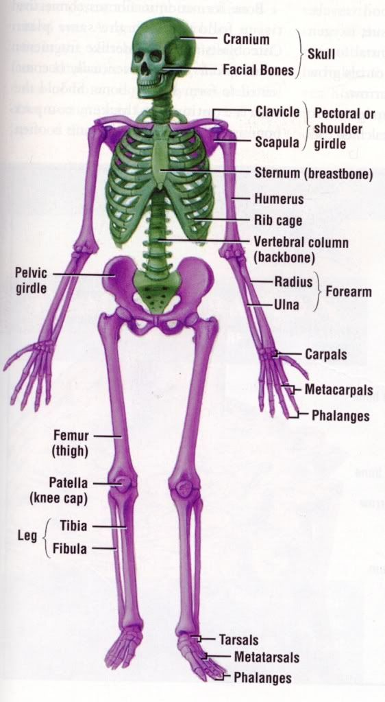 Imgs For Anatomy And Physiology Skeletal System Anatomy And
