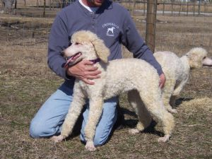 Standard Poodles For Sale Nc Puppies For Sale Poodle Puppy