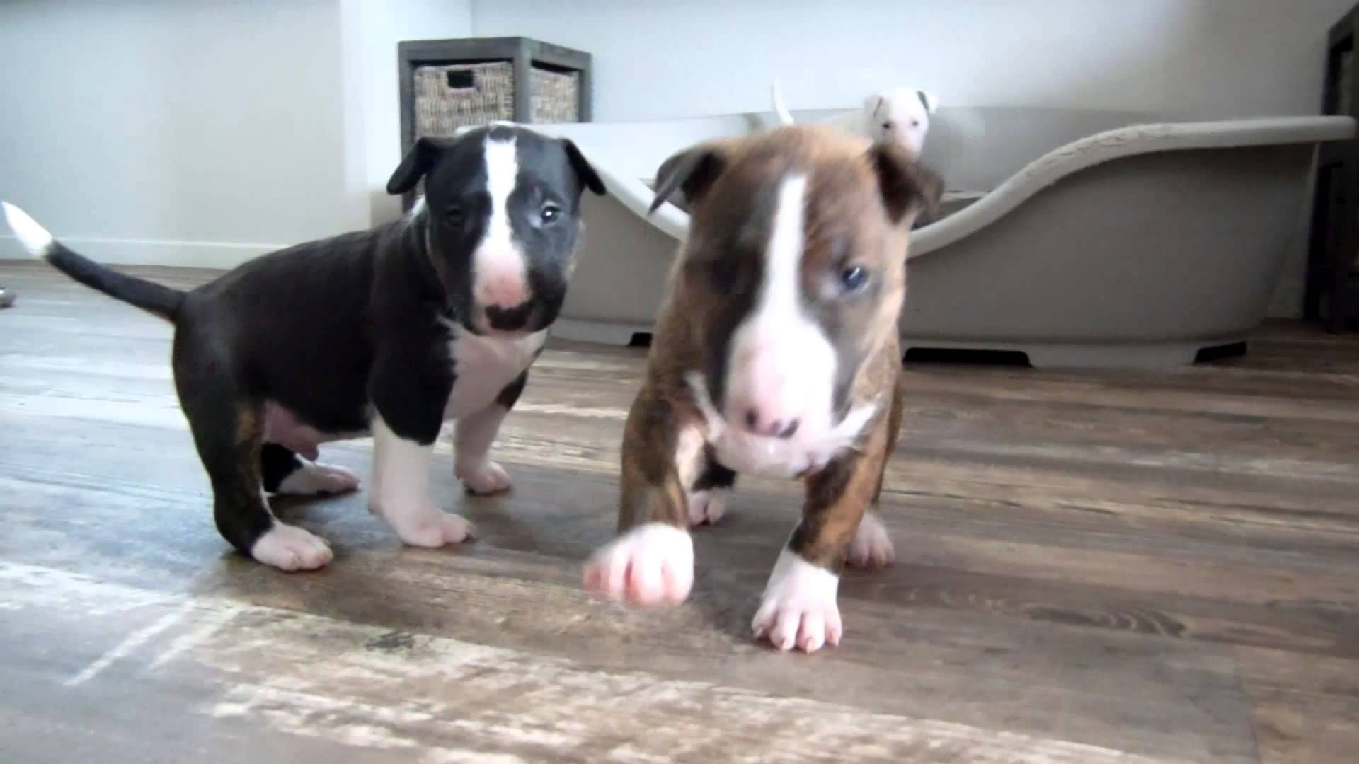 Bull Terrier Puppy 4 Weeks Old Goes Crazy For The Camera Bull
