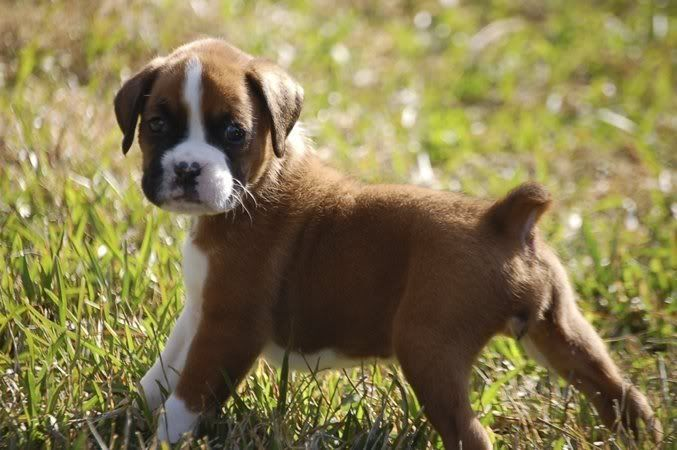 Adorable Boxer Puppies. For more cute puppies, check out our youtube channel: https://www.youtube.com/channel/UCH7efODYtEdnWfAm1eS4NMA
