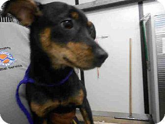 Panama City Fl Chihuahua Jack Russell Terrier Mix Meet Socks A Dog For Adoption Dogs Dog Adoption Kitten Adoption