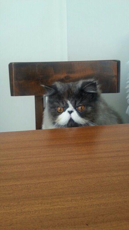 Gatico persa esperando el almuerzo. ..