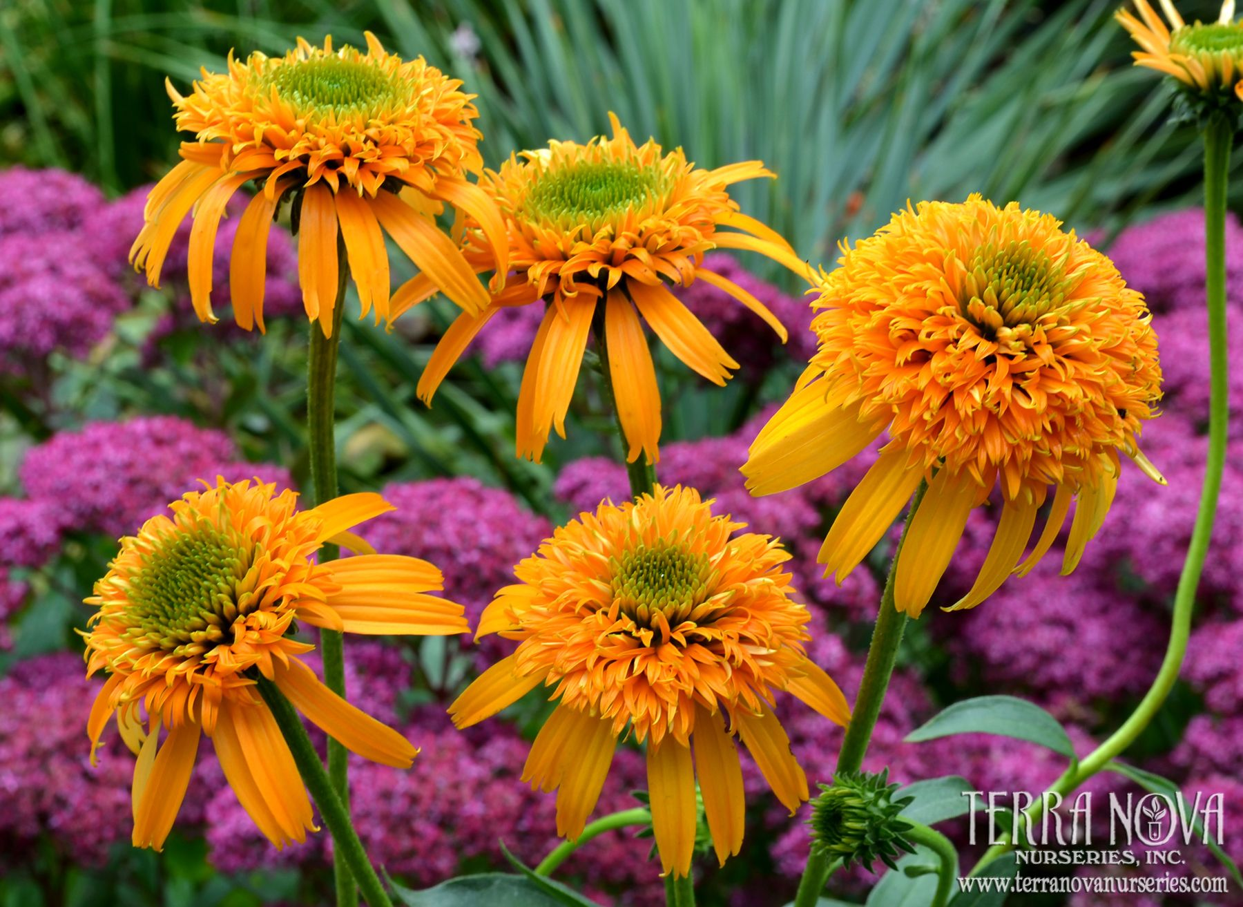 Echinacea Secret Glow Secret Glow Is Precisely School Bus