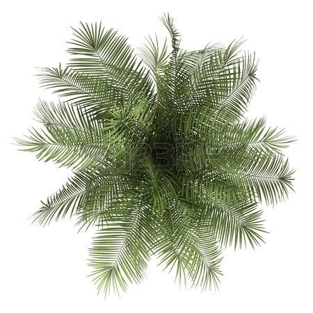 Plants Top View Top View Of Palm Tree Isolated On White Background Stock Photo Tree Plan Photoshop Trees Top View Tree Photoshop
