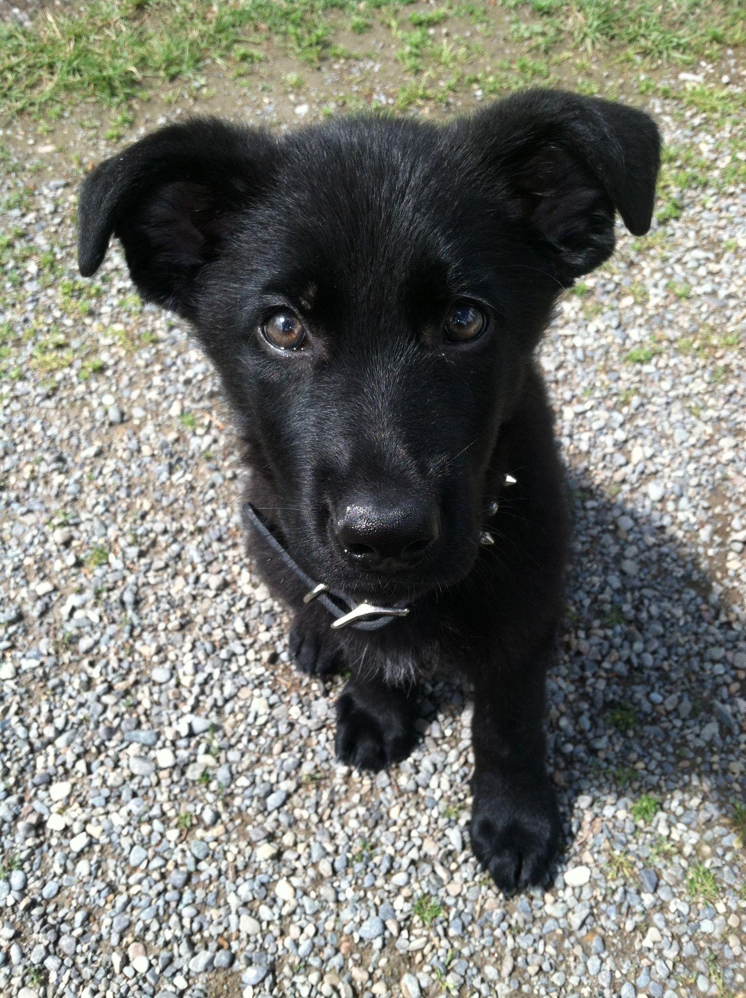 Black Shepard Labrador Mix Puppy So Adorable Shepherd Mix Puppies Dog Barking Shepherd Mix Dog
