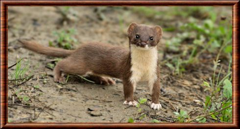 Belette animaux de france ferret animals et rats - Babouin et belette ...