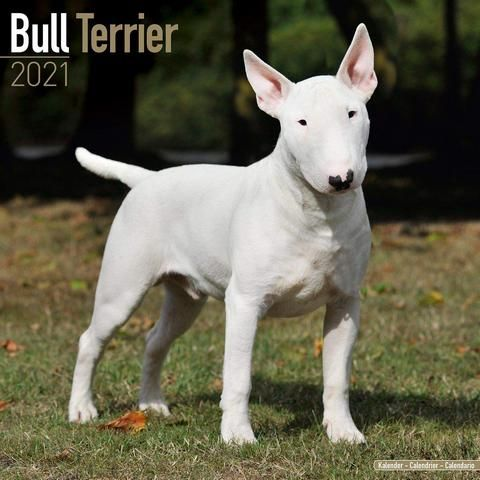 Bull Terrier Wearing A Bow Tie Bull Terrier Silly Animals Cute Puppies