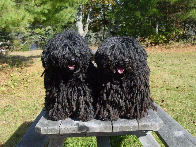 Hungarian Puli Pulik Dogs