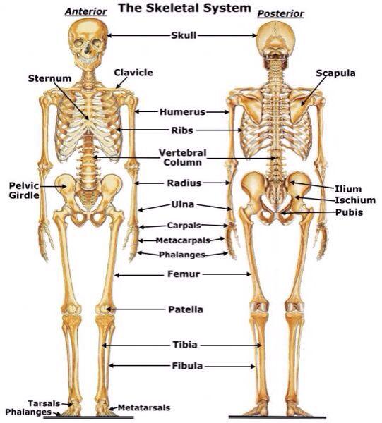 Encantador Diagrama De Músculo Etiquetado Fotos - Anatomía de Las ...