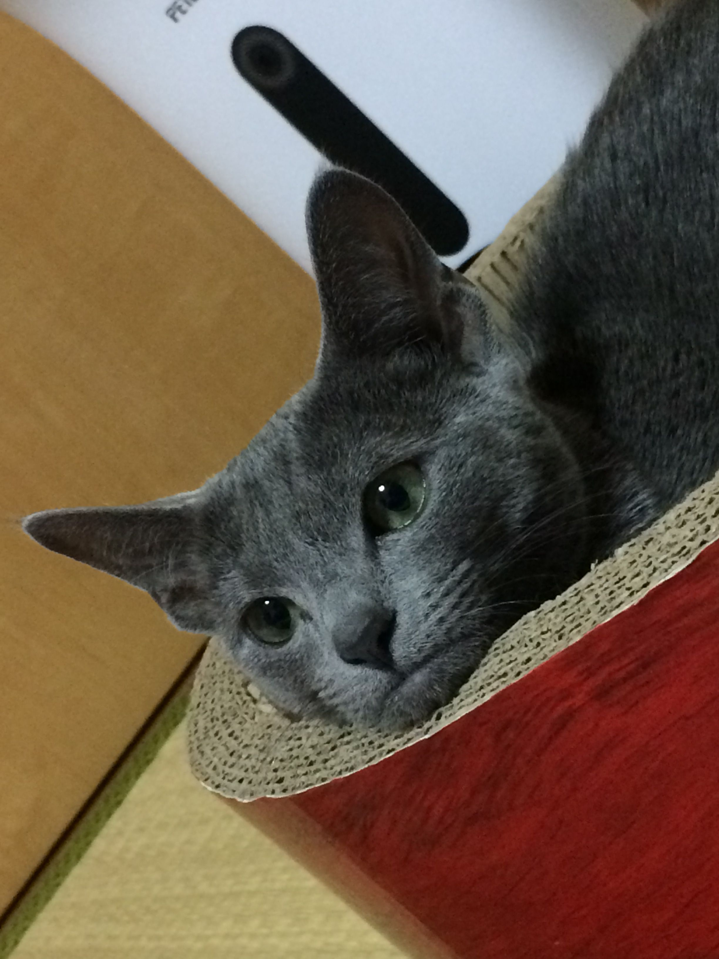 Pin by Roland Thistle on Russian blue cats   Russian blue