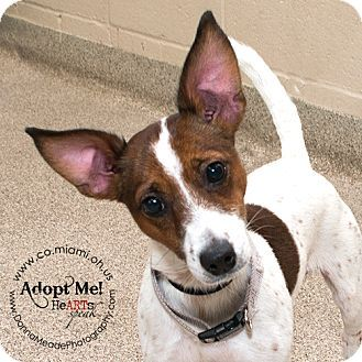 Urgent I Am At A Kill Shelter In Troy Oh Fox Terrier Smooth