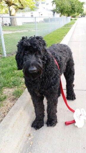 Zeus Giant Schnoodle 3 Schnoodle Dog Schnoodle Puppy Dogs