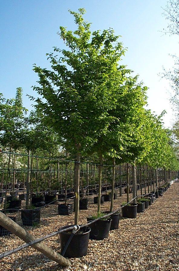 parrotia persica 39 vanessa 39 lovely as a tree pinterest. Black Bedroom Furniture Sets. Home Design Ideas