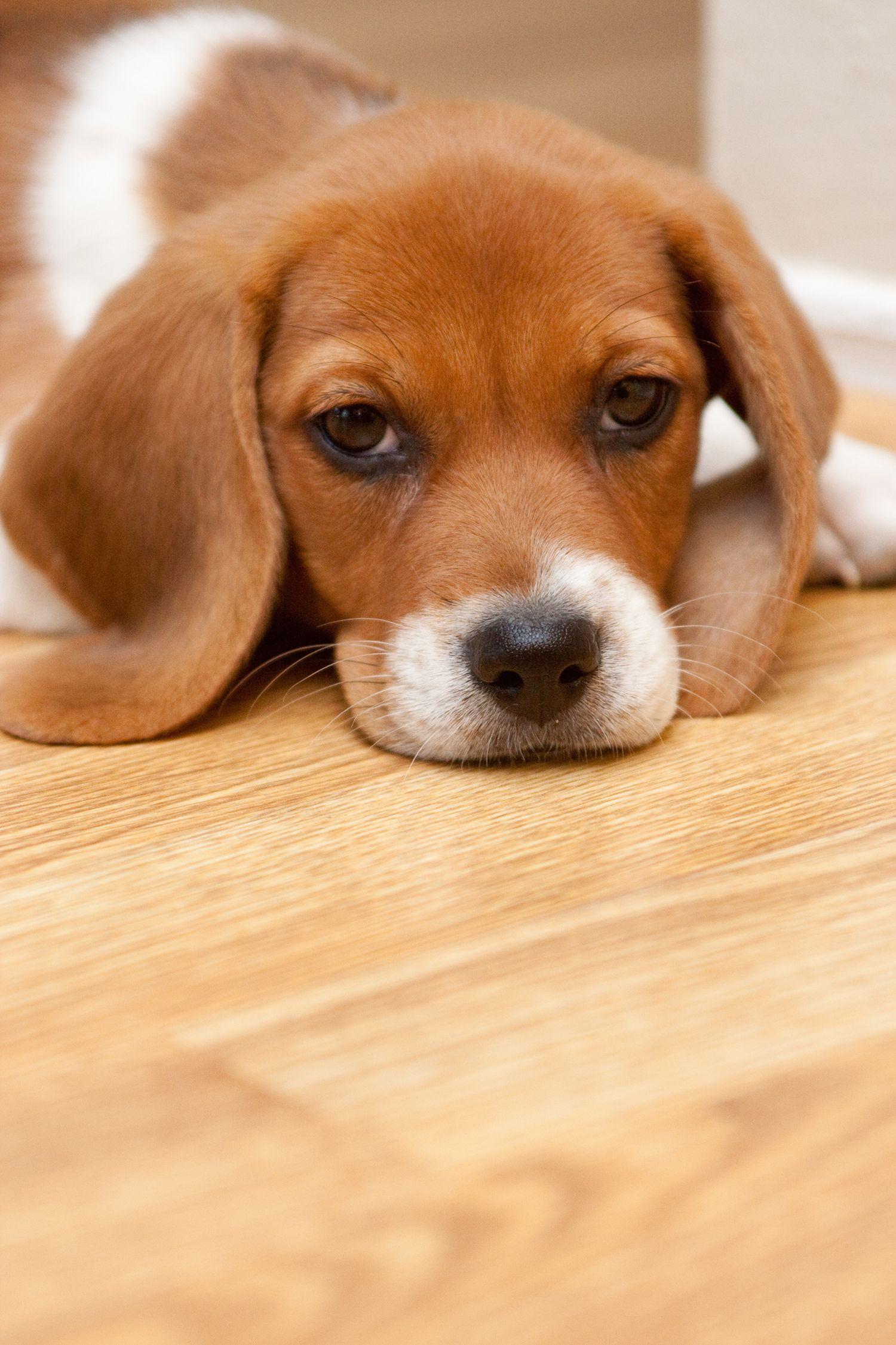 Lemon Beagle Resting Up For Later Beagle Puppy Beagle Pet