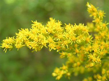 nebraska state flower - Google Search