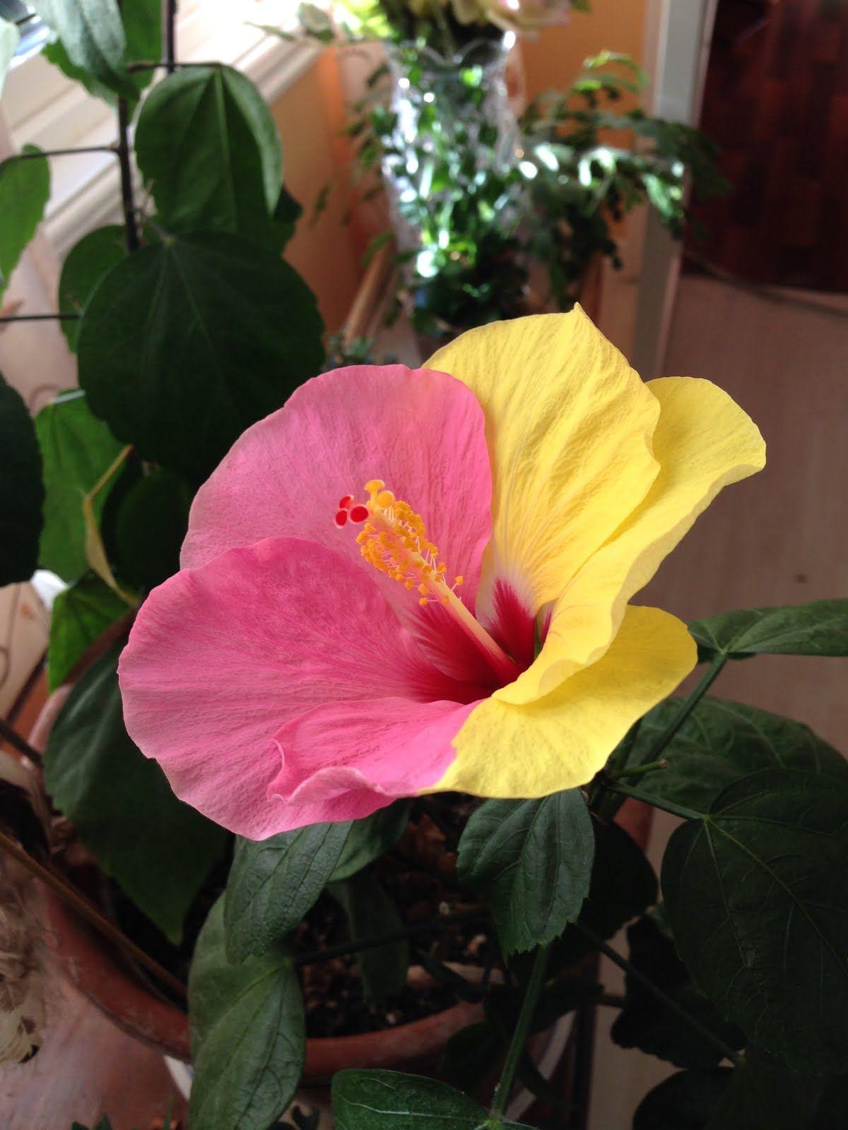 Half Yellow Half Pink Hibiscus Flower Wow Flowers Pinterest