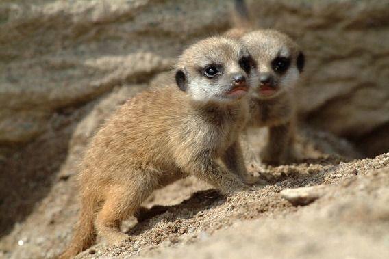 Baby Meerkat ミーアキャット 可愛すぎる動物 哺乳類