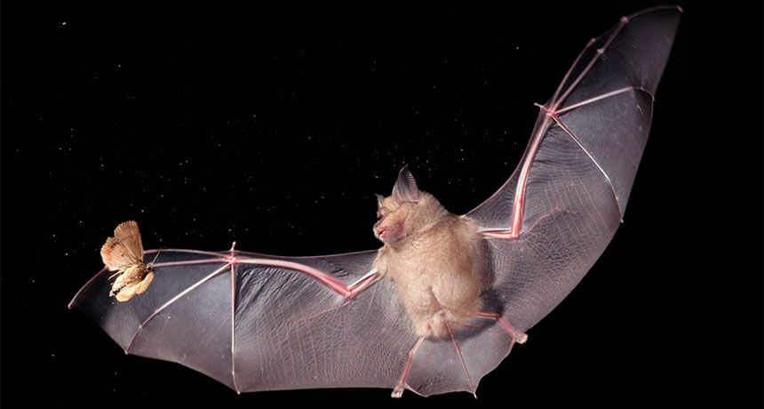 NIGHT HUNT New research finds that bright LED lighting leaves moths open to attacks from hunting bats. ~~ Dietmar Nill/Alamy
